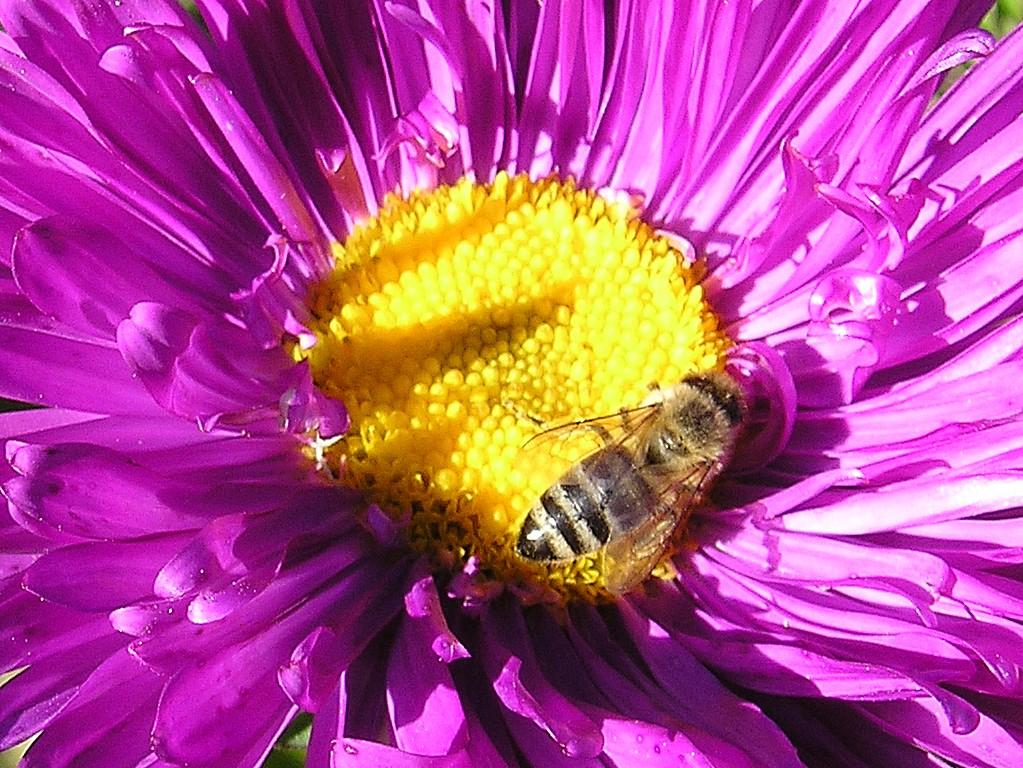 ... рабочего стола, пчела на цветке астры: amazingdesktop.narod.ru/other/othr3.html